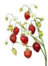 Wild strawberry twig Royalty Free Stock Photo