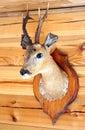Wild stuffed buck on wooden wall Royalty Free Stock Photos