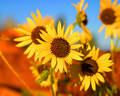 Wild sunflower Royalty Free Stock Photography