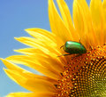 Wild sunflower and a green bug Stock Images