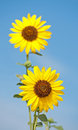 Wild sunflower, Helianthus annuus Stock Photo