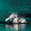 Wild swan taking a morning bath in the lake Royalty Free Stock Image