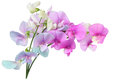 Wild sweet pea flowers marsh vetchling marsh lathyrus palustris Royalty Free Stock Photography