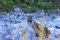 Wild Tahr Stock Photo