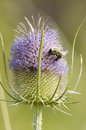 Wild teasel dipsacus fullonum with bumblebee Stock Images