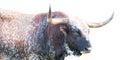 Wild Texas Longhorn Bull Royalty Free Stock Photo