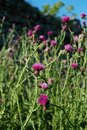 Wild thistle Royalty Free Stock Images
