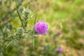 Wild Thistle Flower Meadow Royalty Free Stock Photo