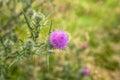 Wild Thistle Flower Meadow Royalty Free Stock Photo