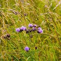 Wild thistle flowers in meadow picture of many purple growing the amongst grass and other plants Stock Photography