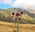 Wild thistle flowers onopordum carduelium gran canaria of Royalty Free Stock Photo