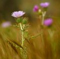 Wild thistle in full bloom among grasses foreground Stock Photography