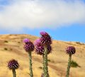 Wild thistle onopordum carduelium native plant of gran canaria flowers Royalty Free Stock Images