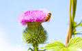 Wild thistle with pink flower and bee on blue background close view Royalty Free Stock Photography