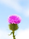 Wild thistle with pink flower blooming on blue sky background Stock Image