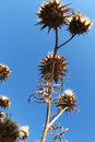 Wild thorny plants from below a view of the dry flowers of some against a bright blue sky in a sunny day portrait cut Stock Photos