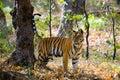 Wild tiger in the jungle. India. Bandhavgarh National Park. Madhya Pradesh. Royalty Free Stock Photo