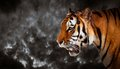 Wild tiger looking ready to hunt side view panoramic and profile cloudy black sky background Stock Images