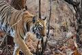 A wild tiger walking