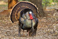Wild Tom Turkey Stock Photography
