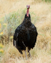 Wild tom turkey Royalty Free Stock Photos
