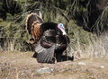 Wild tom turkey a merriam in spring breeding colors Royalty Free Stock Photo