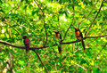 Wild Toucans, Guatemala Royalty Free Stock Photos