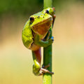 Wild treefrog european tree frog hyla arborea climbing in a twig of reed in its natural habitat Royalty Free Stock Photos
