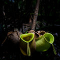 Wild Tropical Pitcher Plant Royalty Free Stock Photo