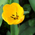 Wild Tulip Stock Photos