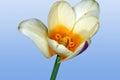 Wild tulip bud on sky background Royalty Free Stock Photos
