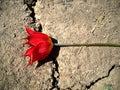Wild tulip on the road Stock Photo