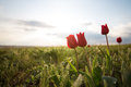Wild tulips Royalty Free Stock Photo