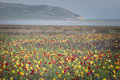 Wild tulips in green grass Royalty Free Stock Photo