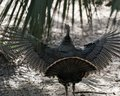 Wild Turkey Bird Stock Photo. Wild Turkey Back With Spread Wings And Tail Feathers.  Wild Turkey Bird Close-up Profile View With