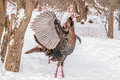 Wild turkey closeup shot of a male in the snow Stock Photos