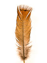 Wild Turkey Feather Royalty Free Stock Image