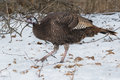 Wild turkey female walking in the snow Stock Photography