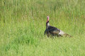 Wild Turkey in a Field Royalty Free Stock Photography