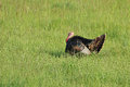 Wild Turkey in a Field Stock Photo