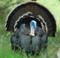 Wild turkey gobbler Stock Photos