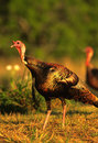 Wild Turkey Gobbler Stock Photography