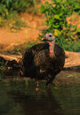 Wild Turkey Hen Royalty Free Stock Images