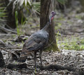 Wild turkey hen in florida woods Stock Photography