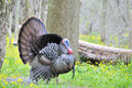 Wild Turkey (Meleagris gallopavo) Stock Photo