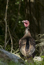 Wild turkey meleagris gallopavo in spring Stock Image
