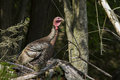 Wild turkey meleagris gallopavo in spring Royalty Free Stock Images