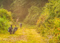 Wild turkey meleagris gallopavo whitetail deer does and turkeys standing in a nature trail Stock Photos