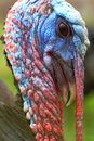 Wild turkey portrait Royalty Free Stock Photo