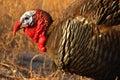 Wild Turkey On The Prowl Royalty Free Stock Photo